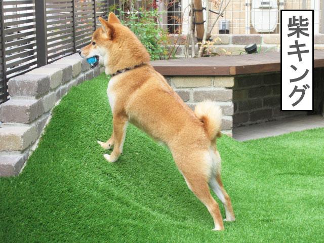 柴犬コマリ ライオンキング