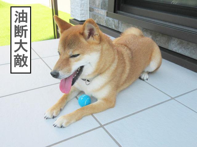 柴犬コマリ iFetch ボール