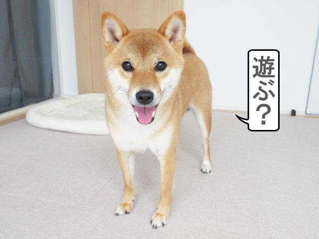柴犬コマリ ワクワク顔