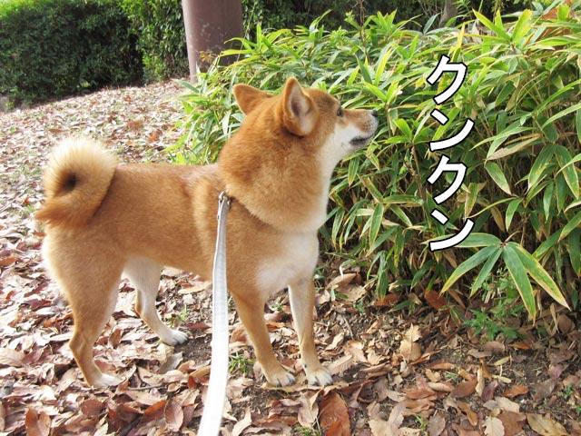 柴犬コマリ 秋の公園