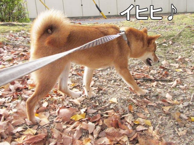 柴犬コマリ イヒヒ