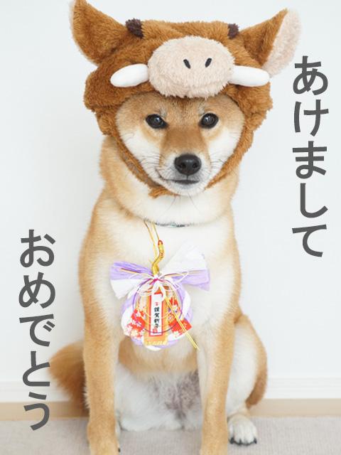 柴犬コマリ あけましておめでとう