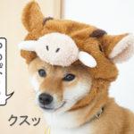 柴犬コマリ イノシシ