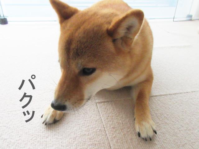 柴犬 ドッグフード