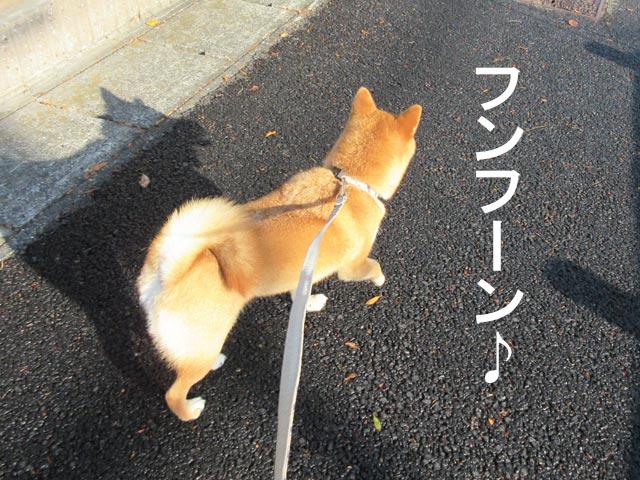 柴犬 散歩