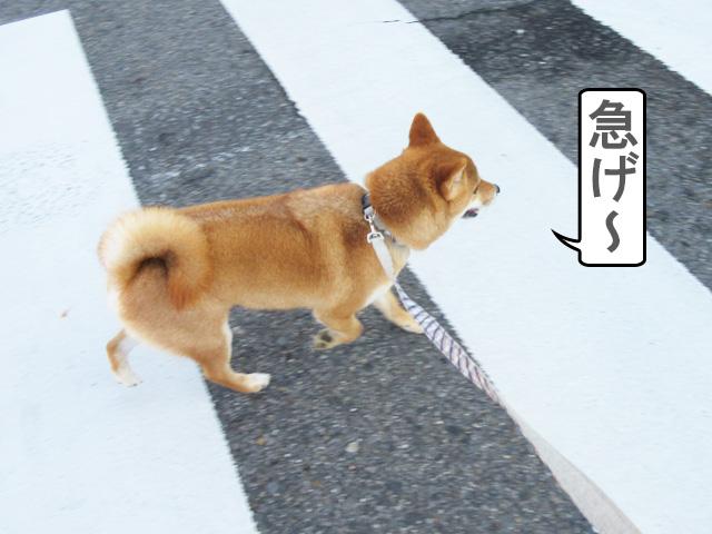 柴犬 横断歩道