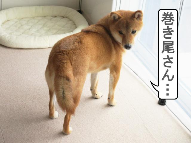 柴犬コマリ 尻尾 巻尾