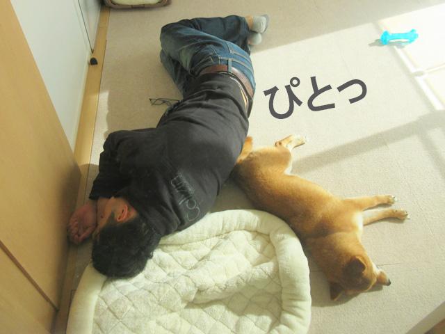 柴犬 添い寝