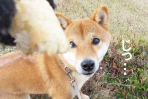 柴犬コマリ パン