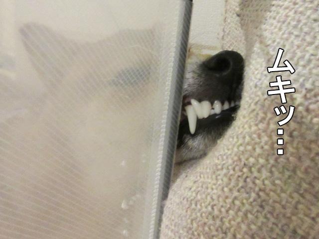 柴犬 ムキッ歯
