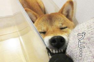 柴犬コマリ ブヒ