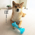 柴犬コマリ 眠気