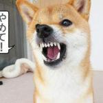 柴犬コマリ 激おこ