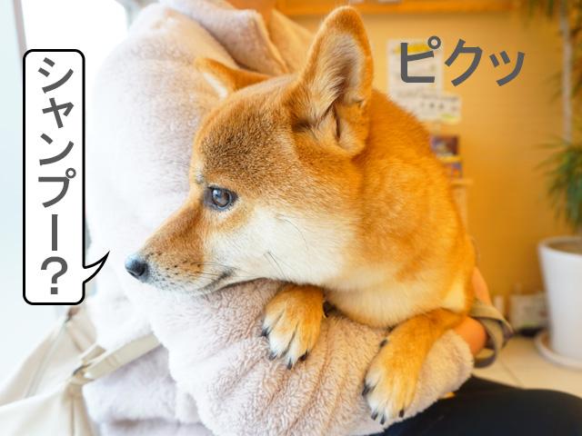 柴犬コマリ 病院 風邪