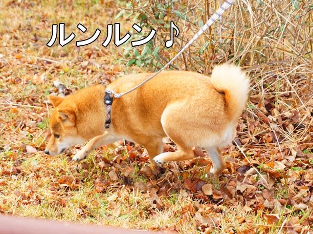 柴犬コマリ 公園 散歩