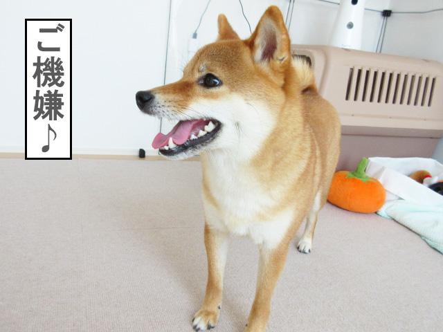 柴犬コマリ 復活