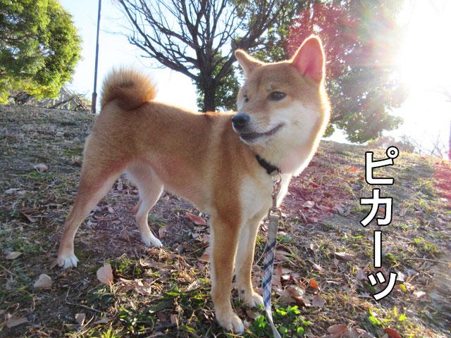 柴犬コマリ 朝日