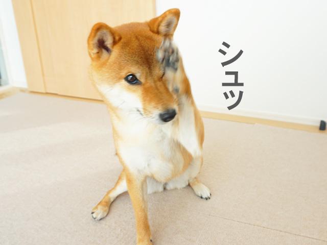 柴犬コマリ フェイス