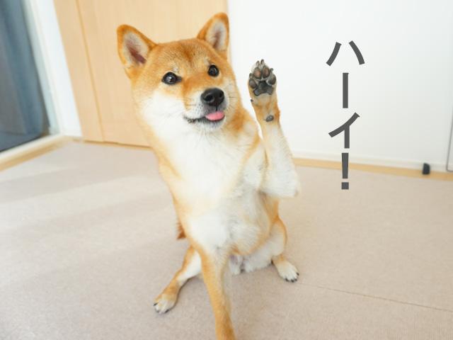柴犬コマリ ハーイ