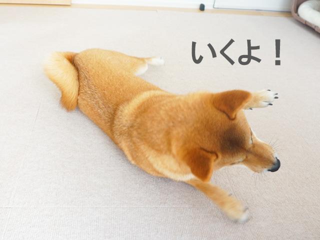 柴犬コマリ ローリング