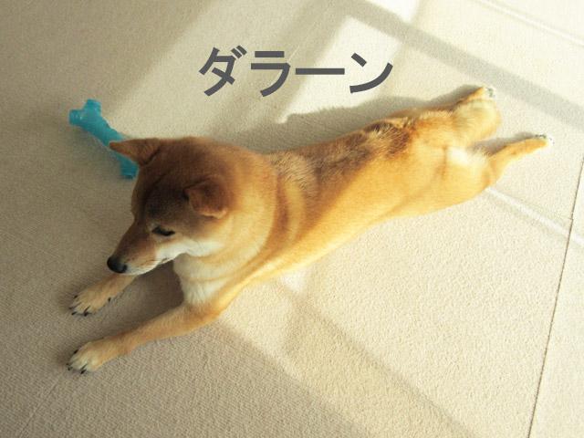 柴犬 ダラーン