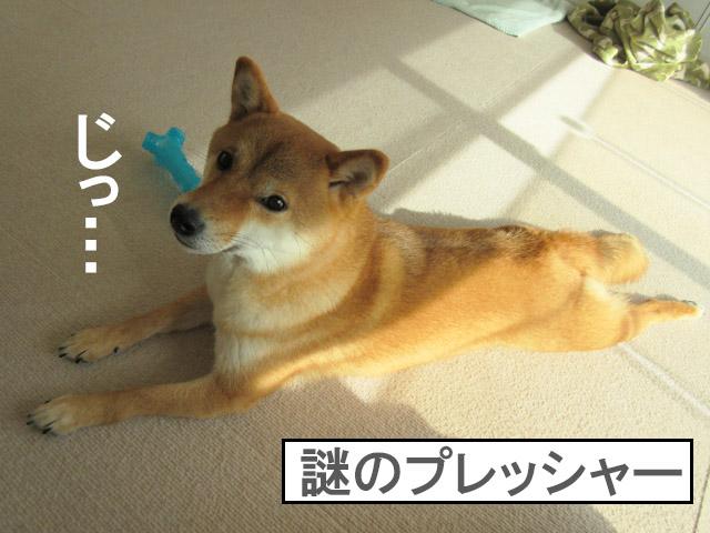 柴犬 プレッシャー