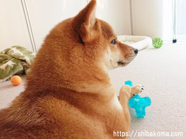 柴犬コマリ 横顔