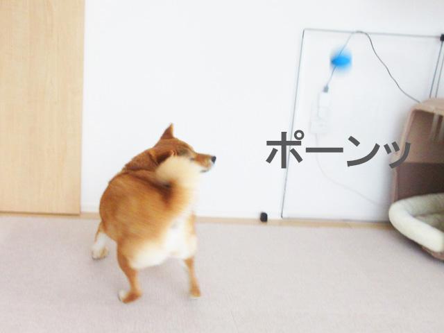 柴犬 ボール