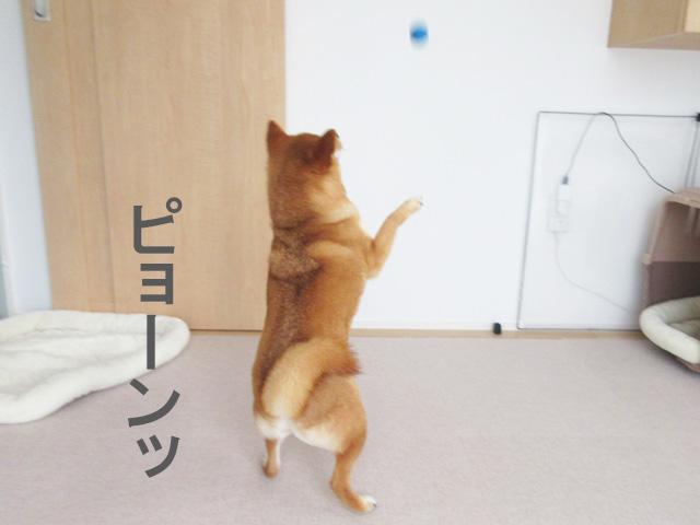柴犬 ボール遊び