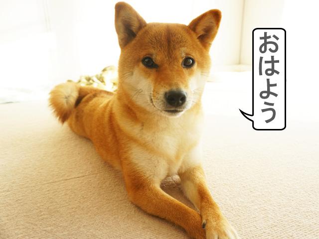柴犬コマリ 起床