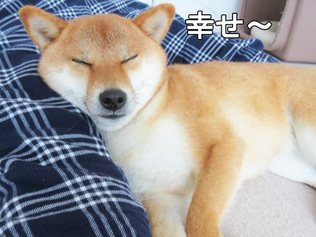 柴犬コマリ 幸せ