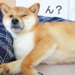 柴犬コマリ ブサカワ