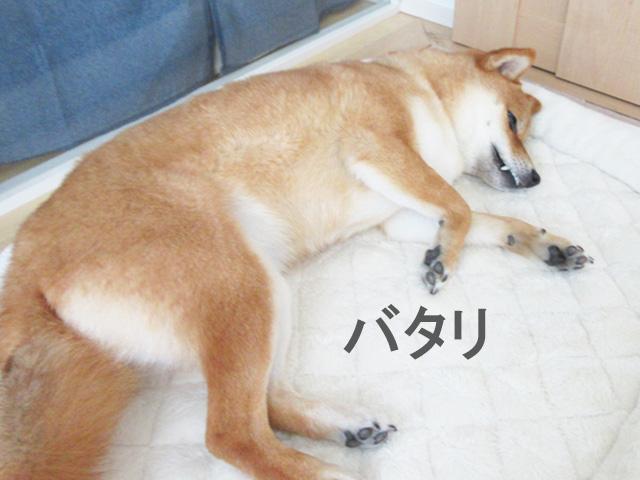 柴犬 バタリ
