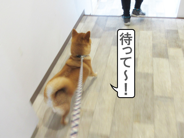 柴犬 犬の学校