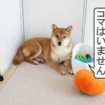 柴犬コマリ 避難