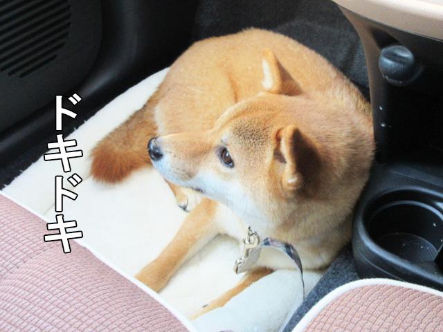 柴犬コマリ 車