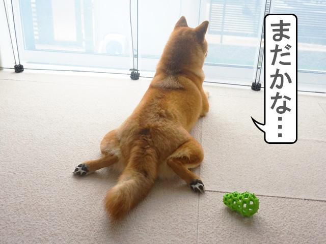 柴犬 忠犬