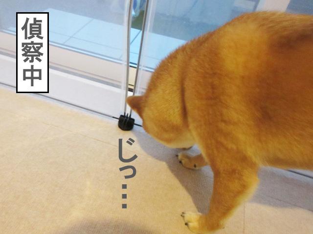 柴犬 ペットフェンス