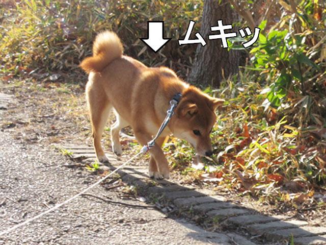 柴犬 マッチョ