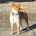 柴犬コマリ マッチョ