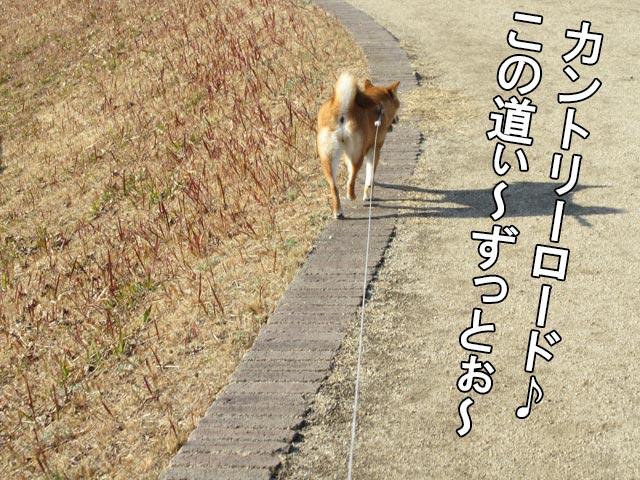 柴犬 カントリーロード
