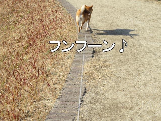 柴犬 ロングリード