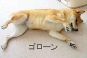 柴犬 ゴロン