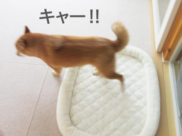 柴犬 逃走