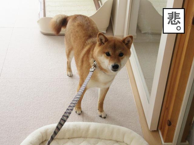 柴犬 リード