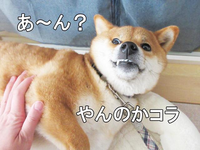 柴犬コマリ ヤンキー犬