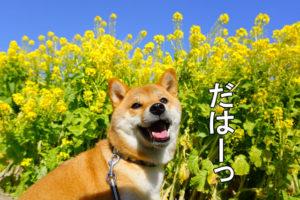 柴犬コマリ 愛知牧場 菜の花