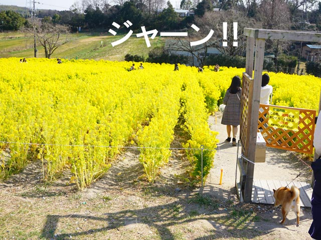 愛知牧場 菜の花
