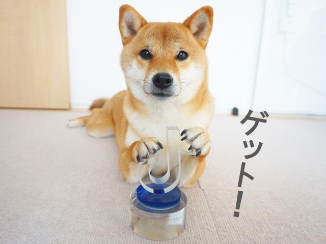 柴犬コマリ TikTok総選挙2018