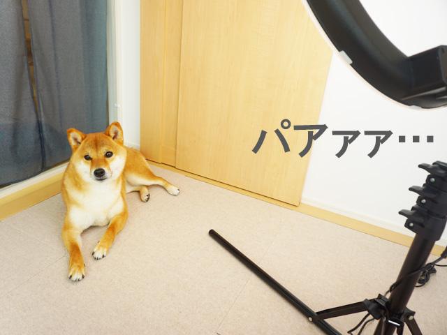 柴犬コマリ TikTok賞品 照明